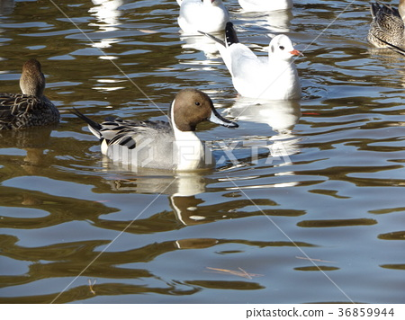 northern pintail, brown, browns 36859944