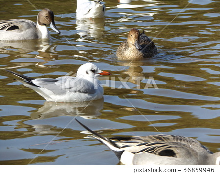 northern pintail, brown, browns 36859946