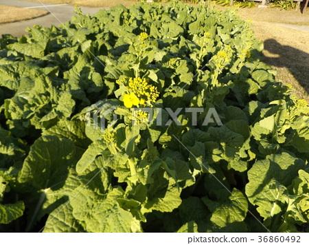 rape blossoms, broccolini, bloom 36860492