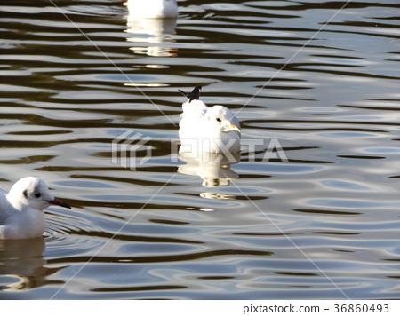 红嘴鸥 白色 候鸟 36860493