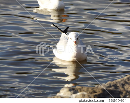 black-headed gull, white, migratory 36860494
