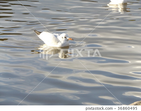 black-headed gull, white, migratory 36860495