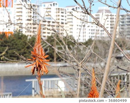 芦荟 花朵 花卉 36860499