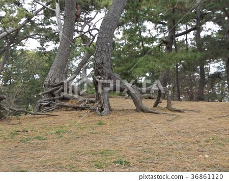 南欧黑松 长青树 灰色 36861120