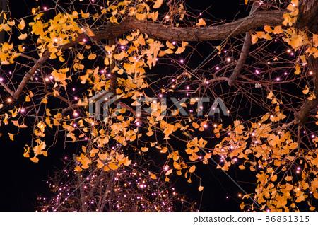 夜晚的銀杏 36861315