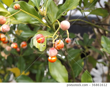 japanese spindle, euonymus japonicus, fruit 36861612