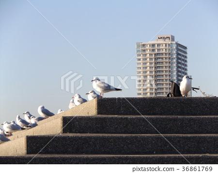 红嘴鸥 白色 候鸟 36861769
