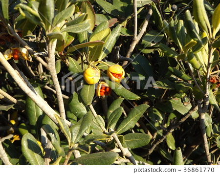 pittosporum tobira, japanese pittosporum, japanese mock-orange 36861770