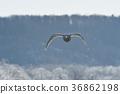 在冰(北海道)背景下飞翔的天鹅 36862198