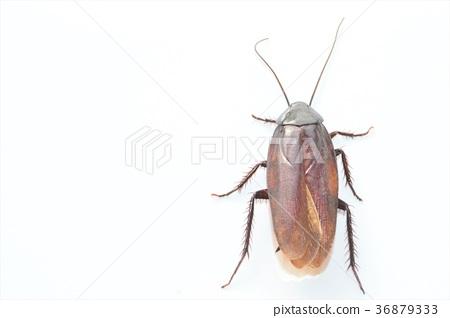 在白色背景的支持白的蟑螂 36879333