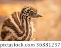 australian, baby, emu 36881237
