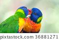 lorikeet, rainbow, two 36881271