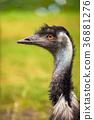 australian, emu, portrait 36881276