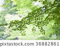 ธรรมชาติ,ผักใบ,พืชสีเขียว 36882861