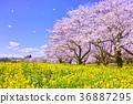 ดอกซากุระบาน,ซากุระบาน,ดอกไม้ 36887295