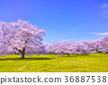 cherry, blossom, tree 36887538