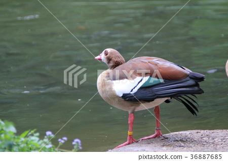 一隻鳥 36887685