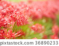 Manjushage flower field after the rain 36890233