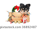 Dog with christmas decoration. 36892487