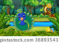 Peacock in the forest 36893543