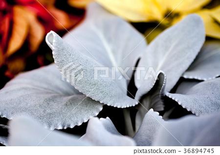 엔젤 윙스, 다육 식물, 천사의 날개 36894745
