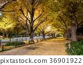 日本秋天東京Ginko神宮外苑划船樹 36901922