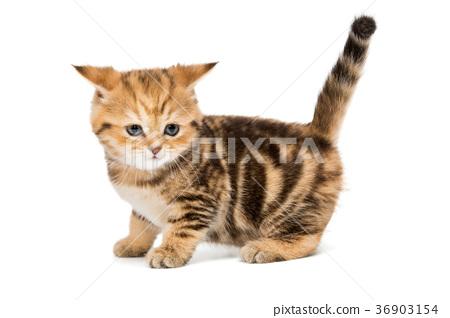 Small striped kitten breed British 36903154