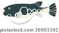 河豚魚 河豚 魚 36903392