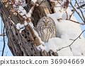 겨울 에조후쿠로우 36904669