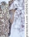 squirrel, japanese hokkaido squirrel, winter 36904675