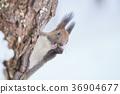 松鼠 日本北海道松鼠 冬天 36904677