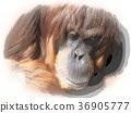 猩猩 動物 哺乳動物 36905777