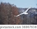 飛翔 日本吊車 鶴 36907638