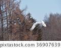 飛翔 日本吊車 鶴 36907639