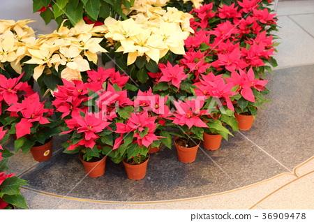 Poinsettia flowers 36909478