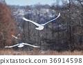 兩個Tancho(北海道·Tsurui)的飛行人物 36914598