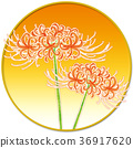 cluster amaryllis, autumnal, plant 36917620