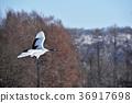 飞行形式的起重机(北海道,Tsurui) 36917698