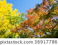 단풍, 단풍나무, 은행나무 36917786