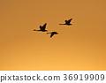 一隻天鵝在夕陽下飛走 36919909