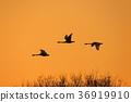 一隻天鵝在夕陽下飛走 36919910