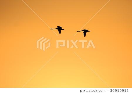 一隻天鵝在夕陽下飛走 36919912