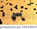 一隻天鵝在夕陽下飛走 36919914