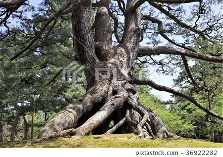 兼六园 树 树木 36922282