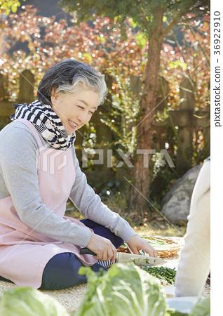 어른,여자,김치,김장,생활 36922910