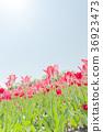 ทิวลิป,ดอกไม้,ทุ่งดอกไม้ 36923473