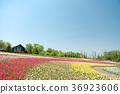 鬱金香 鬱金香花叢 花園 36923606