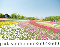 Clear tulip field 36923609