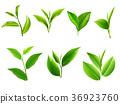 tea, leaf, green 36923760