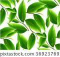 leaves green tea  isolated on white background. 36923769
